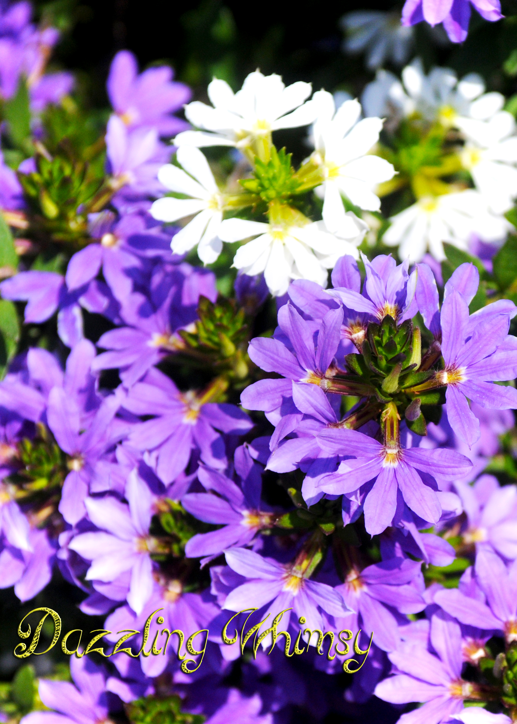 Naupaka dazzling whimsy common names for scaevola species include scaevolas fan flowers half flowers izmirmasajfo