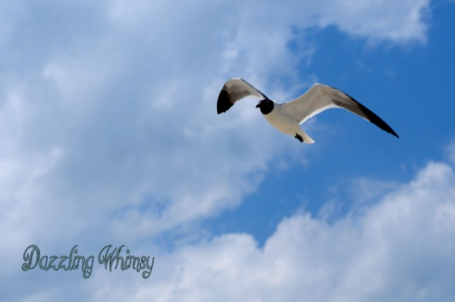 gull-flying